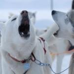 Yland_huskies_fotoJonasSundberg