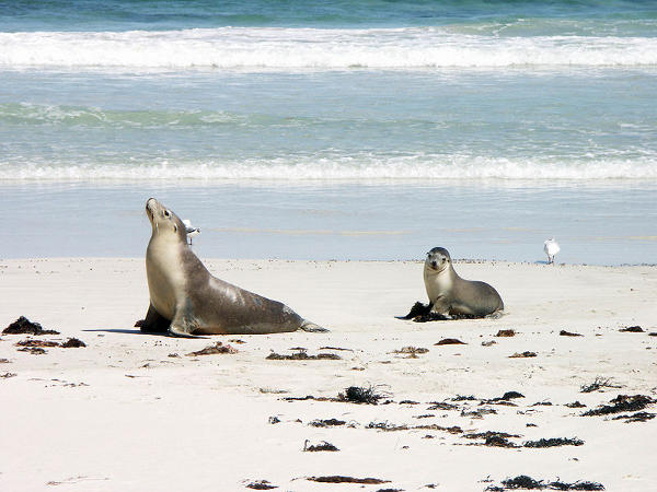 800px-Sea_lion_and_pup_in_Seal_Bay_-_Kangaroo_Island