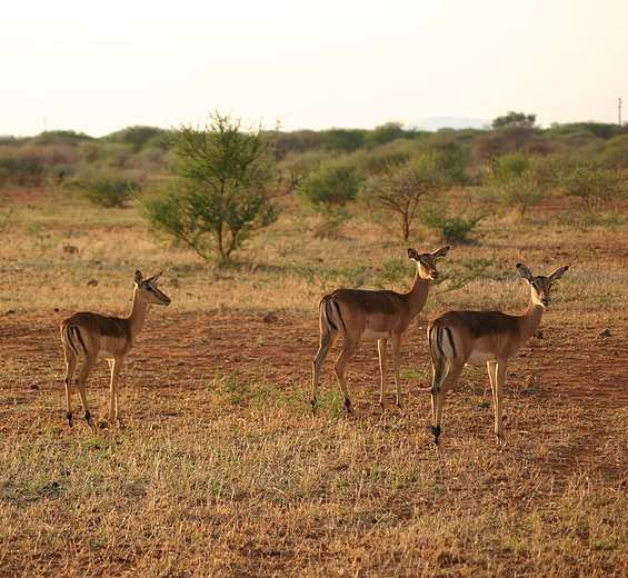 Group_of_Impala